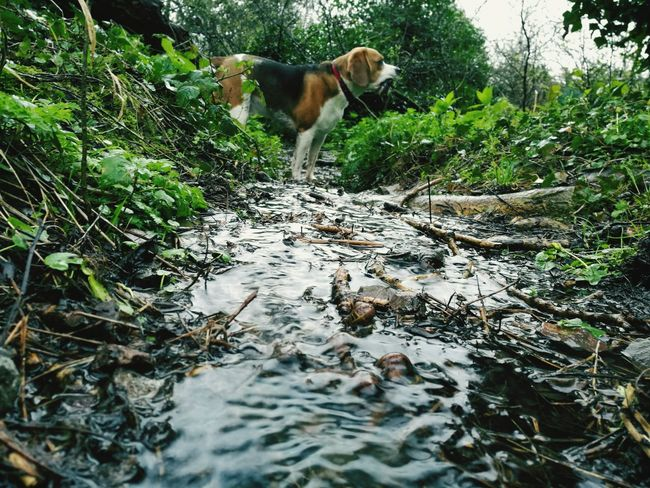 One Animal Pets Nature Outdoors Water Dog Honor8 Honor 8 Smartphonephotography Smartphone Photography Dogslife Beagle Beaglelife Dogs Of EyeEm Tranquil Scene Stream