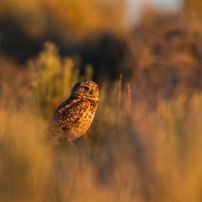One of my favorite shots of a Burrowing Owl at sunset Sunset Owl Utah