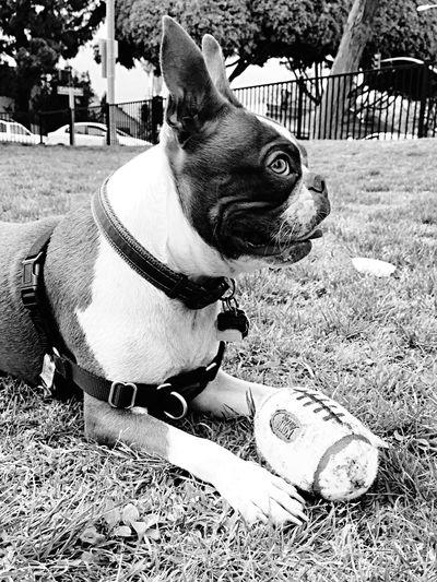 Mojo!❤️ I Love My Dog❤ I Love My Boston Terrier Enjoying Life Black & White