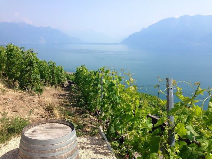 Grapes over Lac Léman Lausanne By Cathy Badi