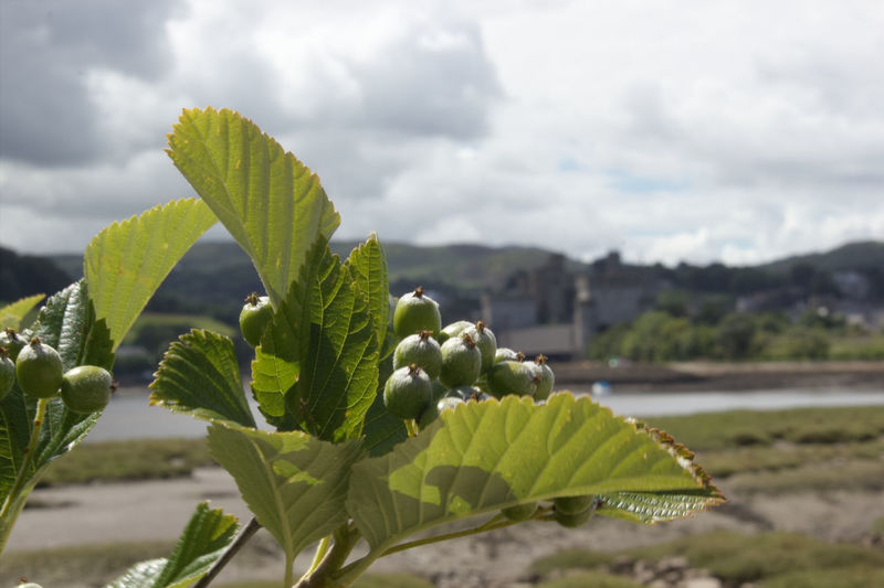 Leaf Close-up Growth Plant Focus On Foreground Green Color Nature Beauty In Nature Freshness Scenics Sky Day Outdoors Fragility Tranquility Botany Growing Plant Life New Life Green North Wales Coast North Wales Wales Conwy Castle Castle