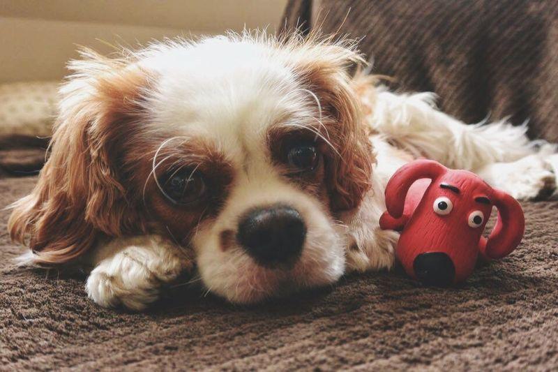 Charlie The Cav Cavalier King Charles Spaniel Dog Dogslife Cavlife