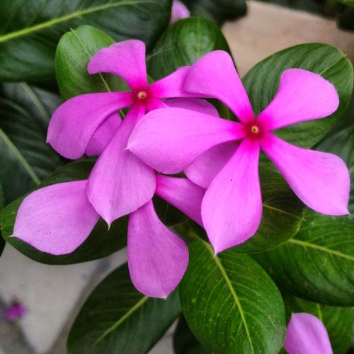 Every Flower Is A #soul Blossoming in Nature 🌸🌸🌸🌸🌸🌸🌸🌸🌸 Nature Natural Naturephotography Asuszenfone2 Manualmode Deapphotography . Flower Freshness Beauty In Nature Pink Color Softness 🌸🌸 Unknownforeveralone ©