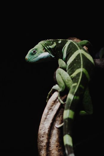 Close-up of green lizard against black background