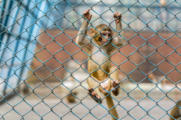 Close-up of monkey on chainlink fence