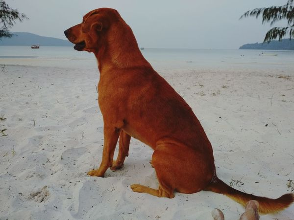 Laguna Guardian Samloem Islanddog Watchdog Bestfriend Dog Beach Sand Animal Themes Sea Nature Sitting No People Beauty In Nature Pets Water Day Outdoors One Animal Domestic Animals