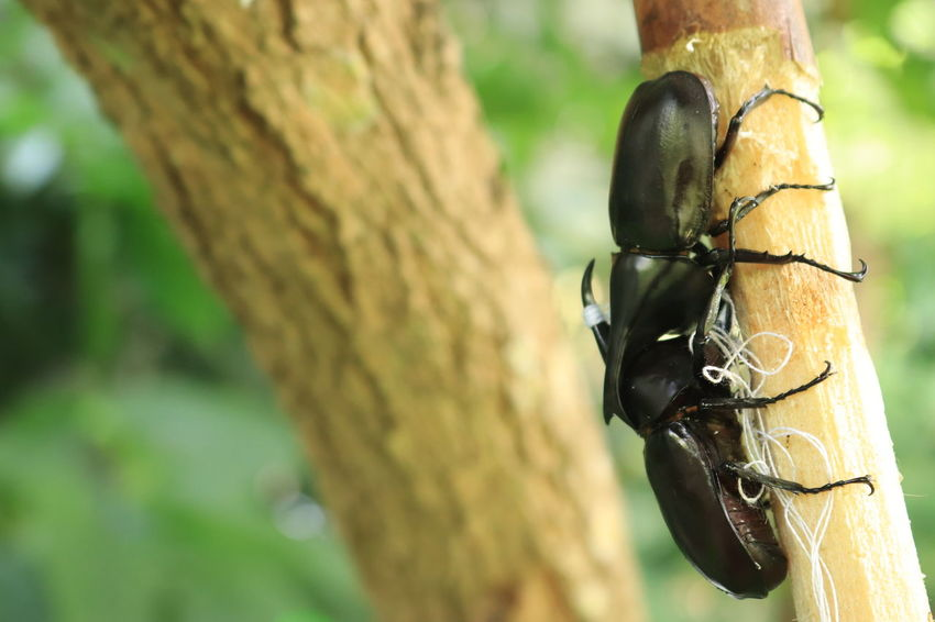 Siamese rhinoceros beetle fighting Beetle Bug Focus On Foreground Trunk Tree Tree Trunk Animals In The Wild Close-up Plant Animal Wildlife No People Nature Day Animal Themes One Animal Animal Invertebrate Insect Outdoors Plant Bark Beauty In Nature Branch Siamese Rhinoceros Beetle
