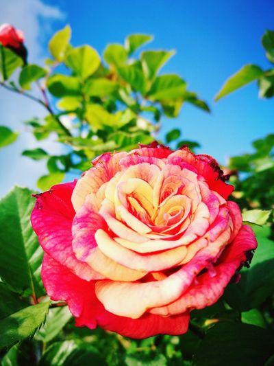 Flower Head Rose - Flower
