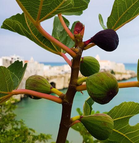 Figs Figtree Figs Trees Travel Photography Country Sea Seaside Fruit Tree Fruit Landscape Vieste Puglia Gargano Coast Gargano Gargano Italy Leaf Prickly Pear Cactus Sky Plant Green Color