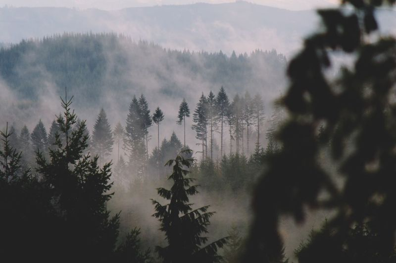 Stopped in our tracks on the way to Pacific City, Oregon to capture the fog bursting through the trees. Tree Nature Pine Tree Forest Beauty In Nature Growth Tranquility Scenics Tranquil Scene Outdoors No People Day Winter Mountain Coniferous Tree Evergreen Tree