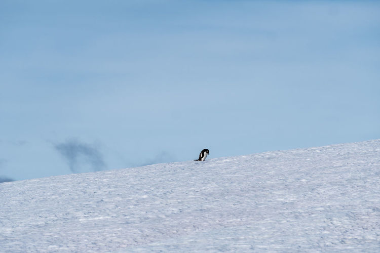 The lone penguin Antarctica Activity Adventure Antarctica Beauty In Nature Cold Temperature Full Length Landscape Leisure Activity Lifestyles Mountain Nature One Person Outdoors Penguin Scenics Ski Holiday Skiing Sky Snow Sport Tranquil Scene Tranquility Vacations White Color Winter