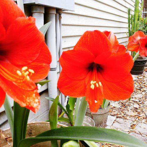 Flower Head Flower Hibiscus Petunia Poppy Red Petal Orange Color Close-up Plant In Bloom Blooming Blossom Focus