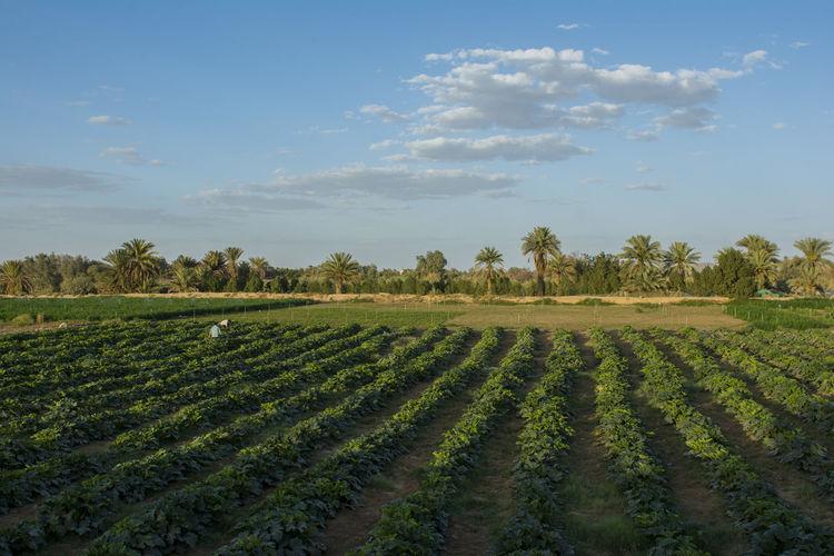 najran Farm