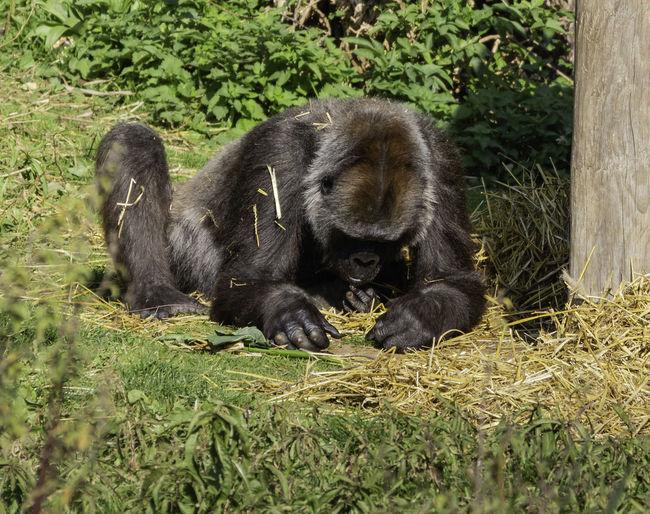 Mammal Primate Animal Ape Gorilla Grass