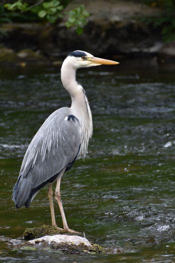 Gray heron perching on a lake