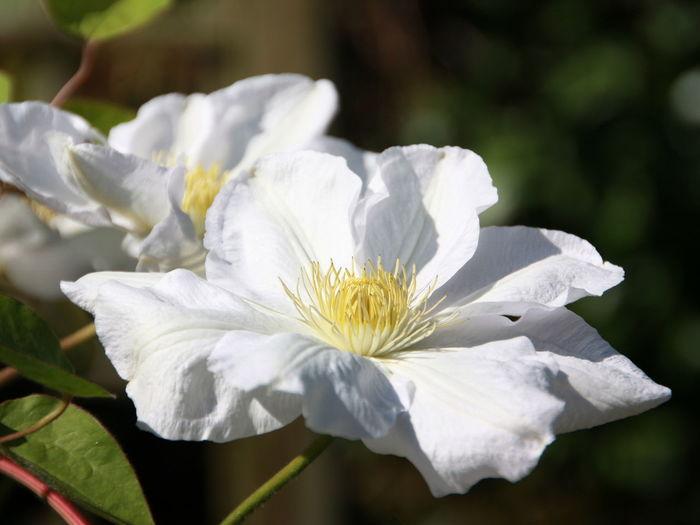 dekorative weisse Klematisblüte Blume Pflanze  Schönheit Der Natur Blumen-Kopf Wachstum Blütenzauber Blütentraum Blütenblatt Natur Nahansicht Blühen Fokus Auf Vordergrund Draußen Keine Leute Tag Klematis