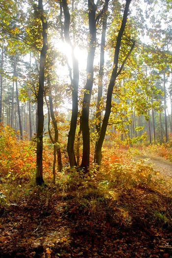 Autumn Beauty In Nature Belgium Branch Day Forest Growth Lanaken Lens Flare Nature No People Outdoors Scenics Shiny Sun Sunbeam Sunlight Tranquil Scene Tranquility Tree
