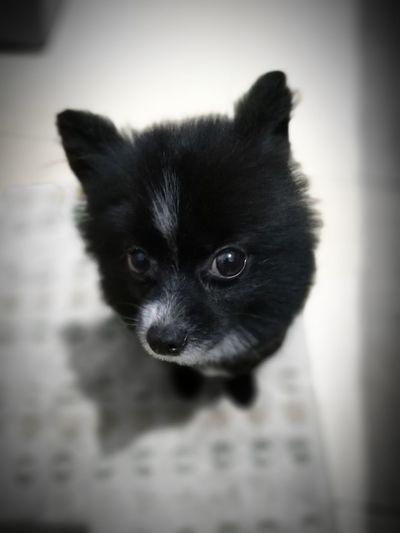 Pomeranian Pets Domestic Animals Close-up Dog Portrait Indoors  The Dogs Pet Portraits