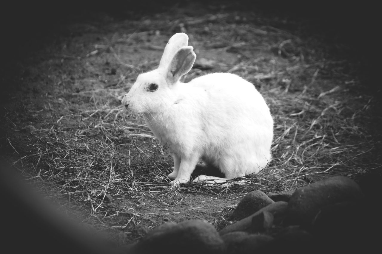 animal themes, one animal, mammal, grass, field, domestic animals, no people, day, animals in the wild, nature, outdoors, close-up