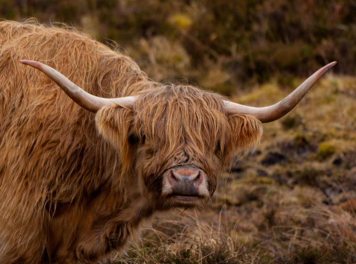 Animal Animal Body Part Animal Hair Animal Head  Animal Themes Brown Close-up Day Field Focus On Foreground Grass Grassy Herbivorous Highland Cattle Horned Landscape Livestock Mammal Nature No People Outdoors Portrait