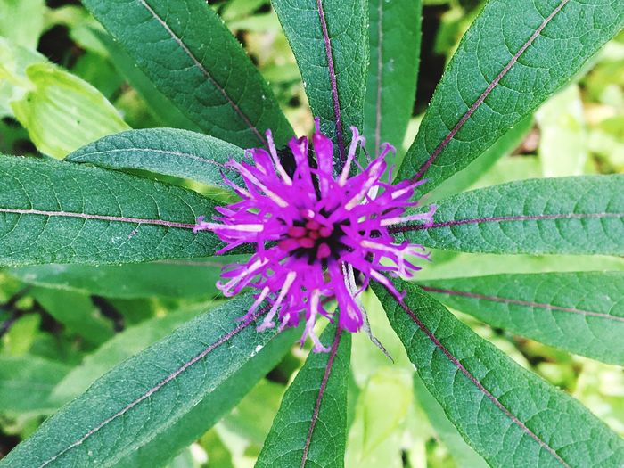 Wildflower Flower Leaf Plant Purple Close-up Nature Beauty In Nature Vibrant Color Pandapas Pond Blacksburg