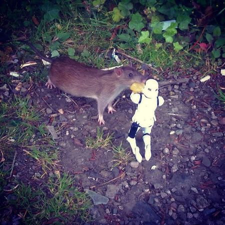 Such a nature lover, nothing he likes better than feeding wild rats cheese and onion crisps! Normanthetrooper Rats Wildlife Ukwildlife Toyphotography Toysalive Toysaremydrug Toyslagram Toycrewbuddies Toyunion Starwarsclique Starwars Stormtrooper Leazespark Newcastlecitycentre Onlytroopersaresoprecise