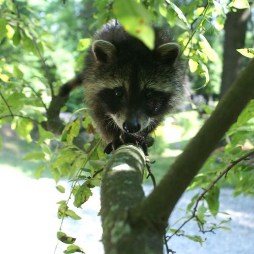 Animal Themes Raccoons Looking At Camera WoodLand Wildlife & Nature