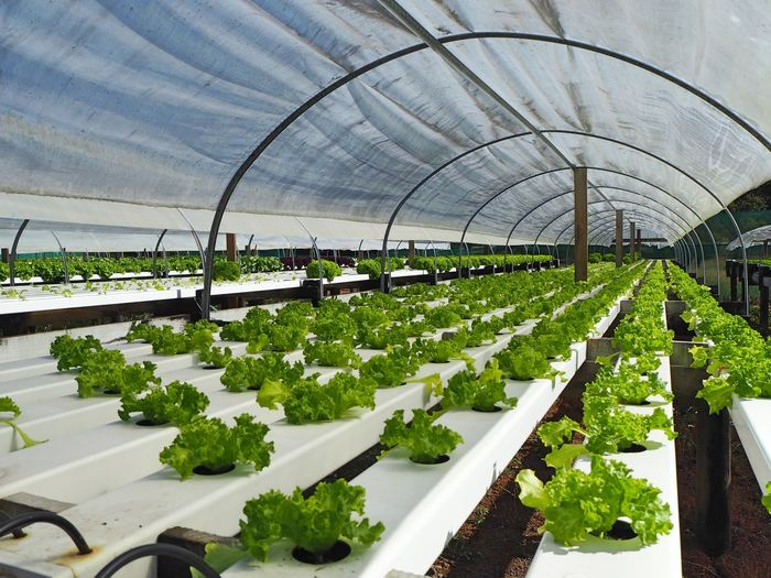 Hydroponic salad farm New Zealand, Oromahoe Agriculture Botany Day Food Freshness Green Color Greenhouse Growth Healthy Eating Horticulture Hydroponic Lettuce Hydroponic Vegetables In A Row Indoors  Large Group Of Objects Nature No People Plant Plant Nursery Vegetable