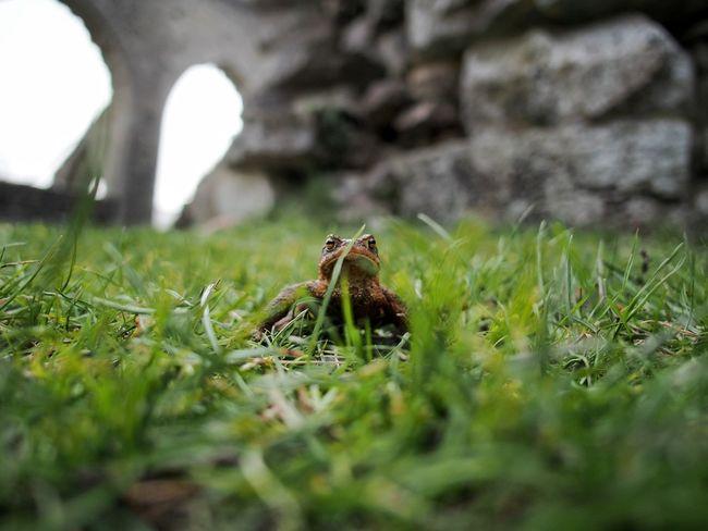 Bufo Bufo Common Toad Toad M.Zuiko 12mm 1:2,0 Vanlig Padda