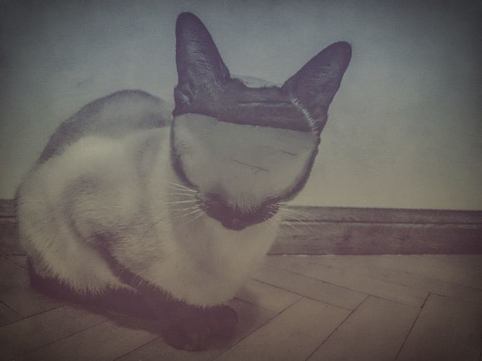 Cat Mycatisawesome Faceless
