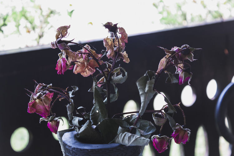 Dead Beauty In Nature Close-up Day Dried Flower Flower Head Flowering Plant Focus On Foreground Fragility Freshness Growth Inflorescence Leaf Nature No People Outdoors Petal Pink Color Plant Rose - Flower Roses Selective Focus Vulnerability  Wilted Plant The Still Life Photographer - 2018 EyeEm Awards