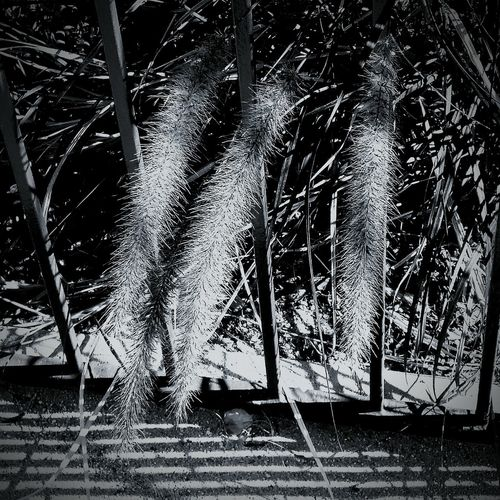 Time gor a fuzzy plant follow the lines Plants Black And White Fence