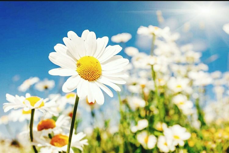 Flower Flower Head Petal Fragility Nature Plant Freshness Blossom Uncultivated Daisy Pollen Beauty In Nature Wildflower Summer Yellow Close-up Growth No People Stamen Day