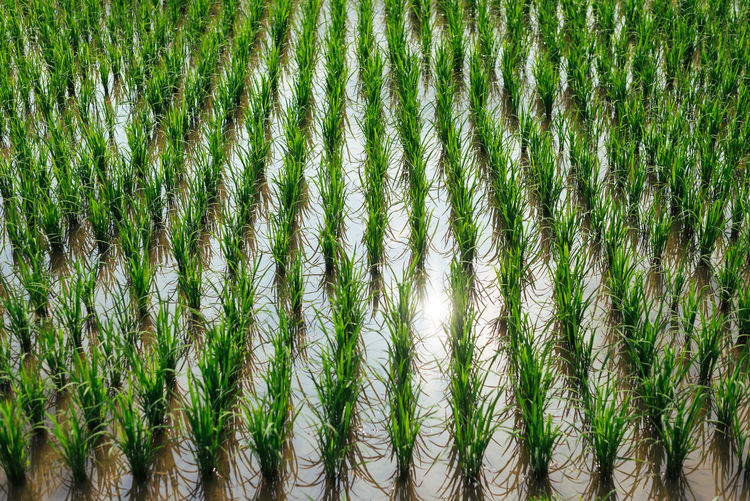 Neatly lined rice in Okayama Japan Japanese  Lines Agriculture Backgrounds Bamboo - Plant Beauty In Nature Close-up Day Full Frame Grass Green Color Growth Nature Neat No People Outdoors Rice Field River Tidy