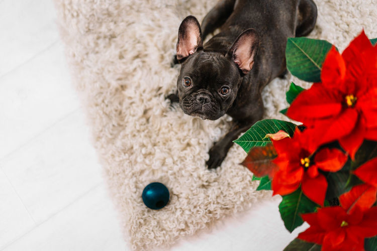 High angle view of french bulldog with toy and poinsettia plant