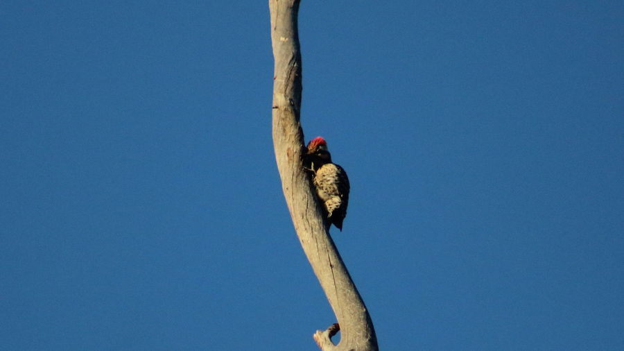 Low angle view of woodpecker on twig against clear sky
