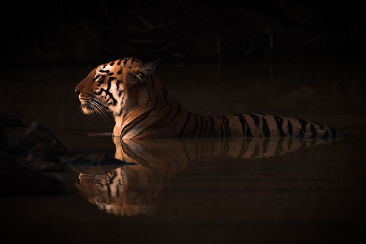 Side View Of Tiger In Lake At Sunset