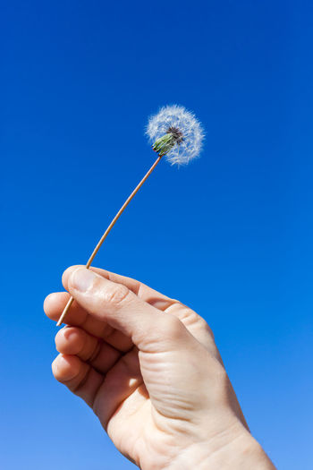 Cropped hand holding dandelion against clear blue sky