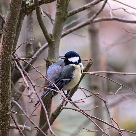 Alertness Animal Animal Themes Animals In The Wild Bird Birds Brown Close Up Cold Day Great Tit Great Titmouse Haselnut No People One Animal Showcase: February Spring Titmouse Vogel Wildlife Wood Yellow Zoology