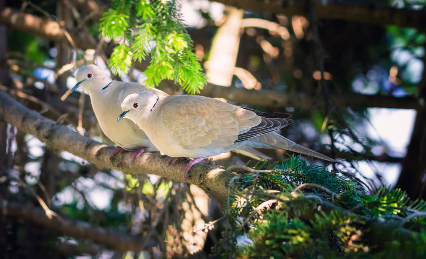 Close-up of two pigeons perching on branch