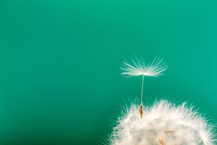 Close-up of dandelion against green background