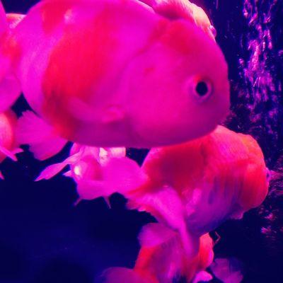 アートアクアリウム2014 金魚鑑賞で涼を取る♪ 写真は桜錦 アートアクアリウム 金魚 夏 涼を取る 涼 江戸 コレド室町 artaquarium goldfish summer edo coredomuromachi
