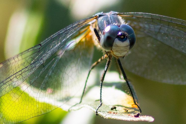 """""""Dragon Smile"""" Dragonfly Insect Animal Themes Animals In The Wild One Animal Close-up Focus On Foreground Animal Wildlife No People Outdoors Nature Day Damselfly Leaf Perching Beauty In Nature"""