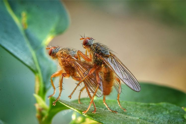 Close-up of flies mating on leaf