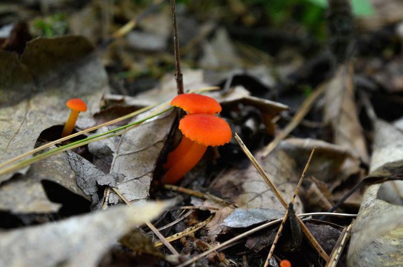 Fly Agaric Mushroom Fungus Toadstool Leaf Mushroom Close-up Fly Agaric Edible Mushroom Blooming
