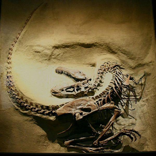 Paleontology Extinct Dinosaur Bones This Week On Eyeem Skeleton Bones Dinosaur Fossilwatch Fossiles No People SkullOfTheDay Reptile