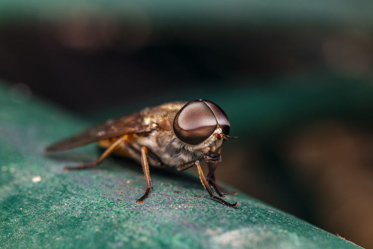 A macro-photo of a horsefly resting in the shade at the local nature reserve
