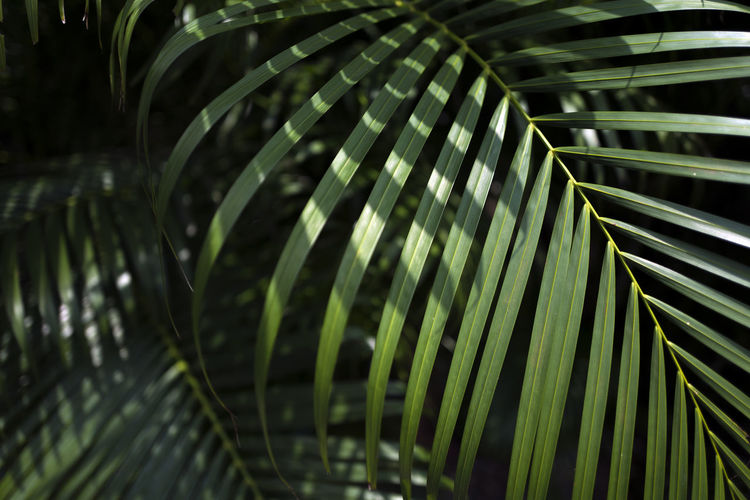 Green Color Leaf Plant Growth Plant Part Palm Tree Nature No People Close-up Beauty In Nature Palm Leaf Day Pattern Focus On Foreground Tropical Climate Tree Outdoors Frond Natural Pattern Selective Focus Leaves