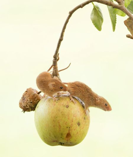 Close-up of rodents on fruit hanging against sky