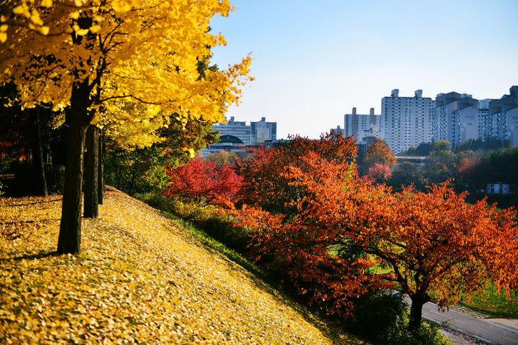 Korea Bundang Autumn Leaves